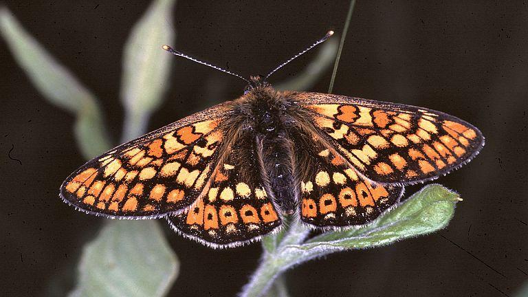 Travniški postavnež – Euphydryas aurinia